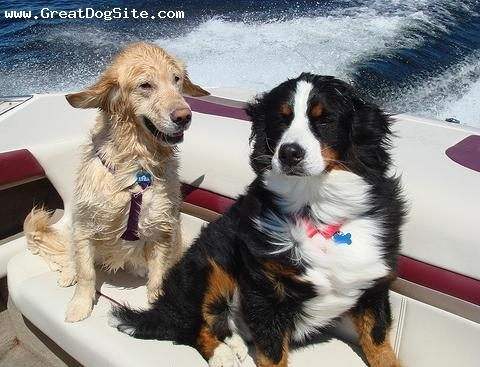 Bernese Mountain Dog, 2 years, Tri Color, riding on my boat